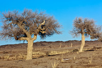 Apparently, these trees are some  of the only remaining trees in the Gobi Desert and these are around 300 years old